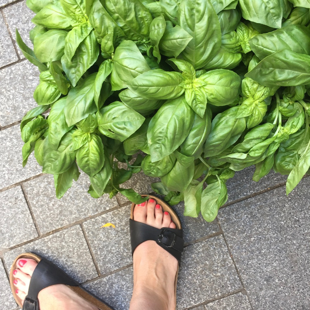 Lush green basil plant